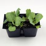Как лучше выращивать капусту