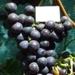 Местный виноград