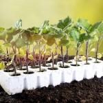 Баклажан — овощ с большими запросами