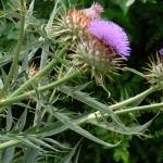 Артишок: уход и выращивание растения у себя на огороде