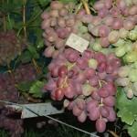Сверхранние сорта винограда с мускатным вкусом